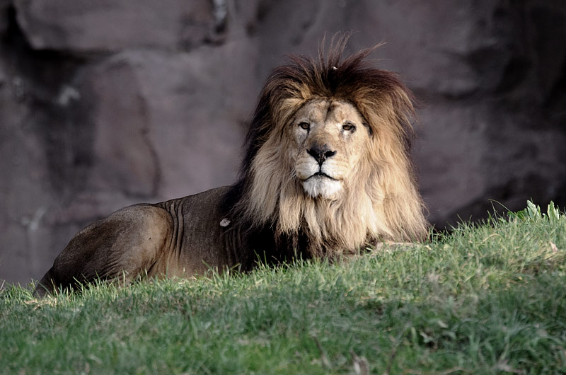 Lev odpočíva na tráve pred skalou.