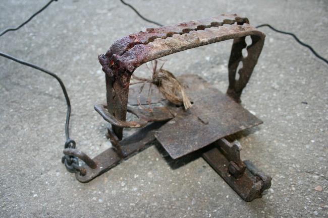 Najčastejší typ železnej pasce so stopami krvi zranených živočíchov, foto: Jozef Lengyel